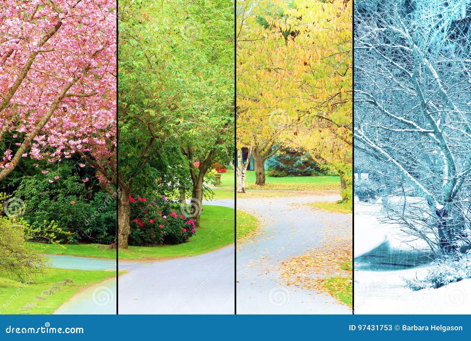 Árvores de cereja na flor