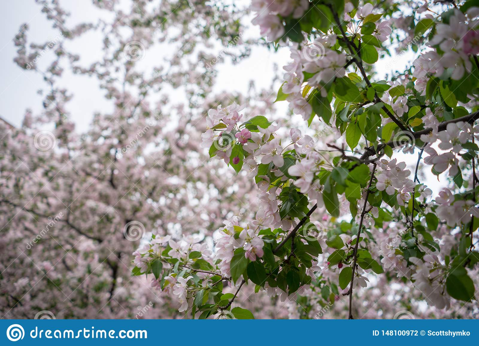 Árvores de cereja na flor completa em Montreal