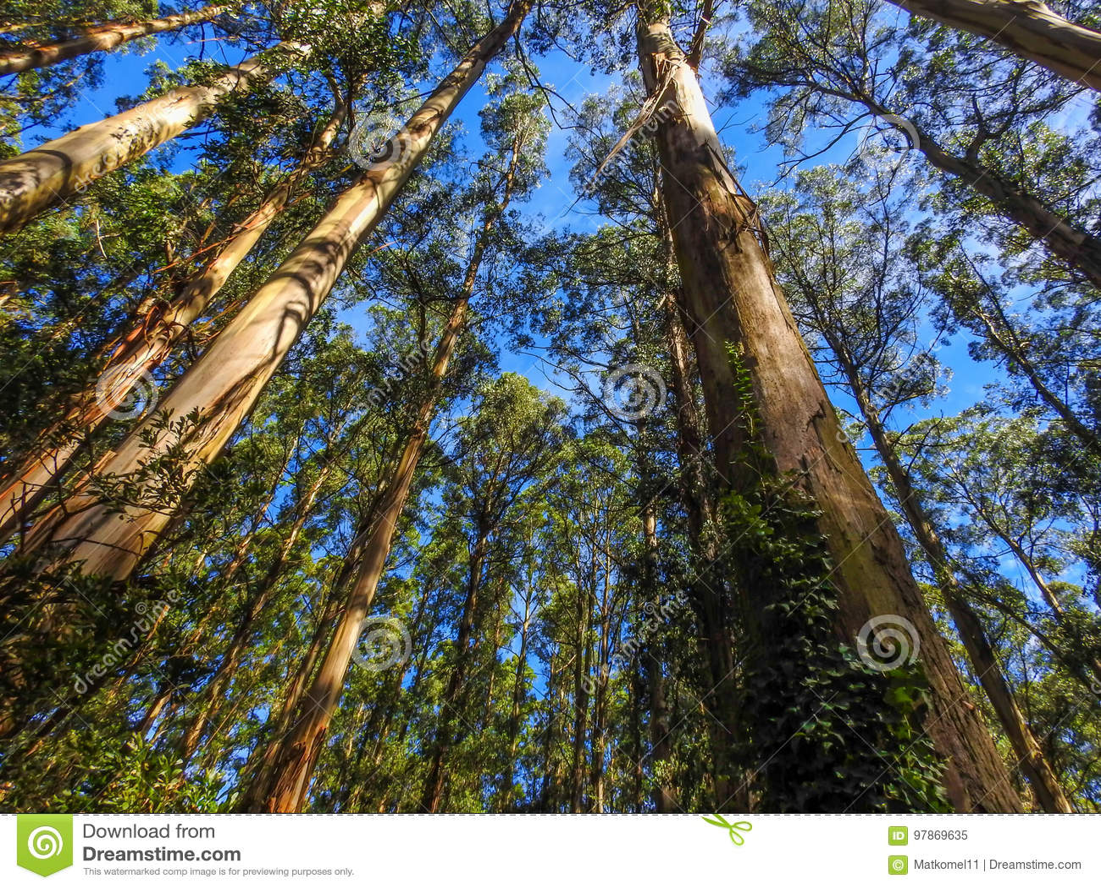 Árvores de cinza altas da montanha