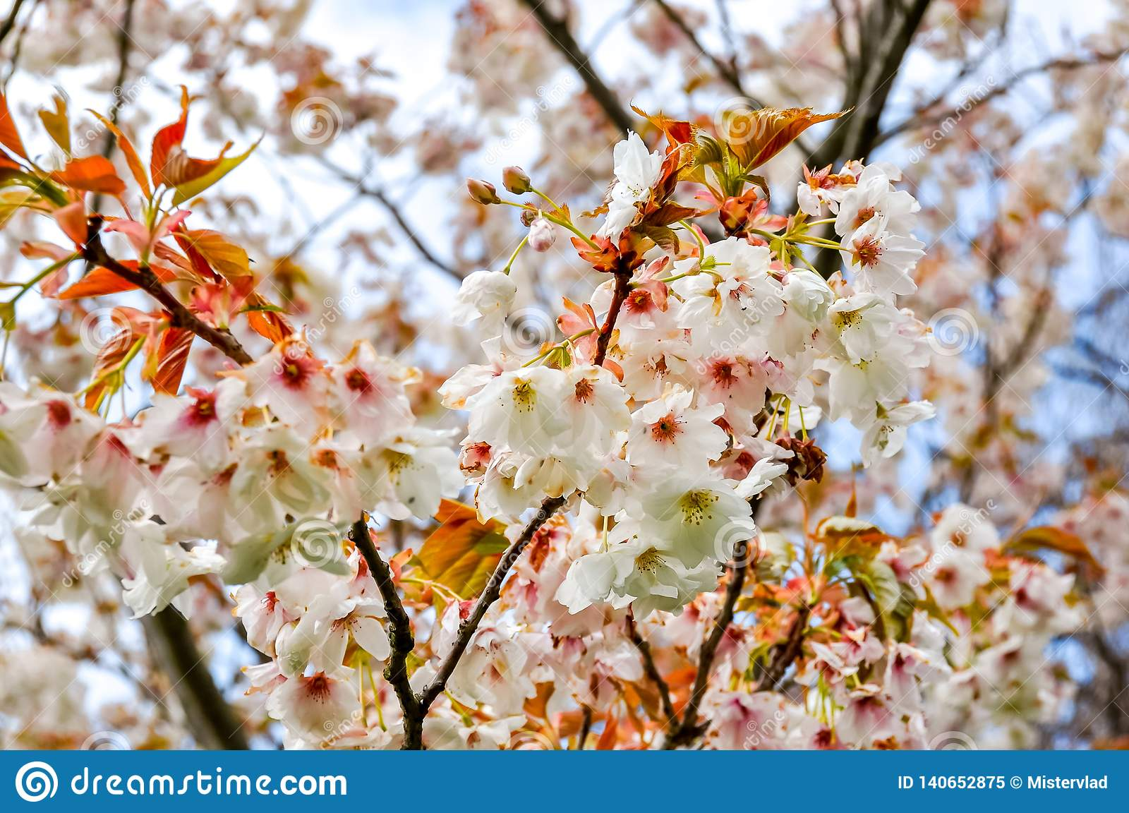 Árvores de florescência no jardim botânico de Kew na mola, Londres, Reino Unido