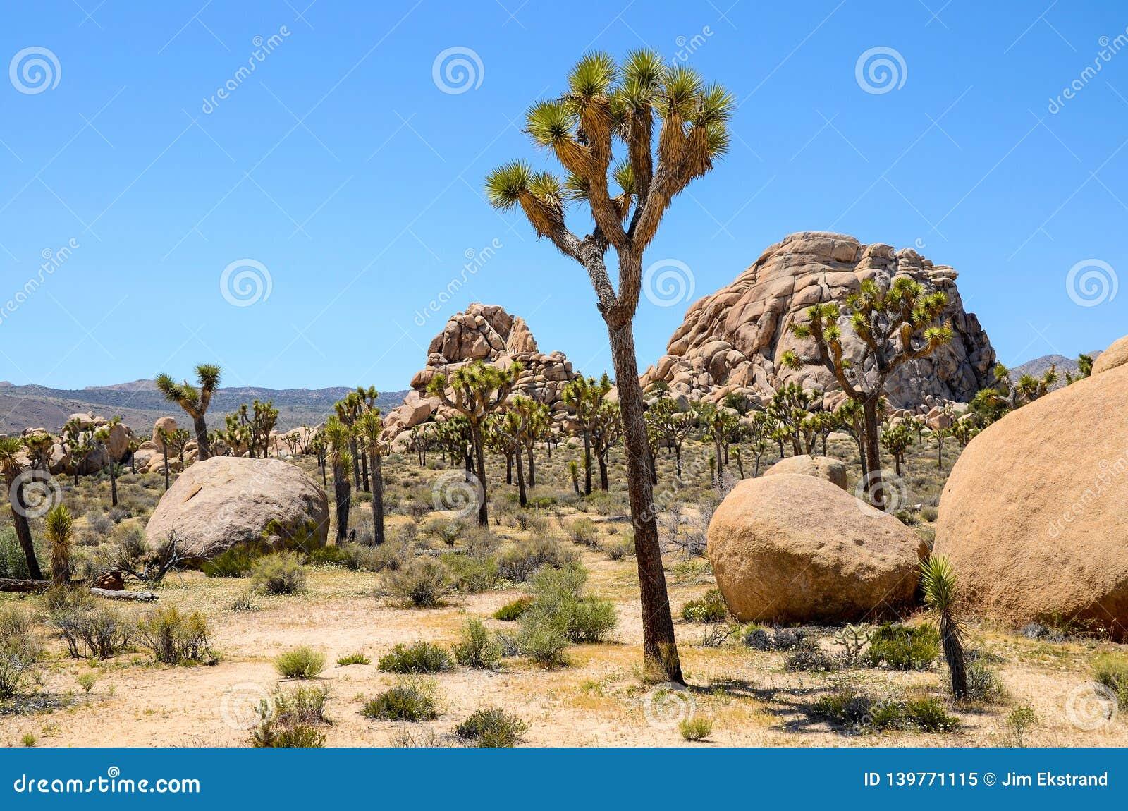 Árvores de Joshua, cacto, wildflowers, e pedregulhos na paisagem do deserto de Califórnia do sul