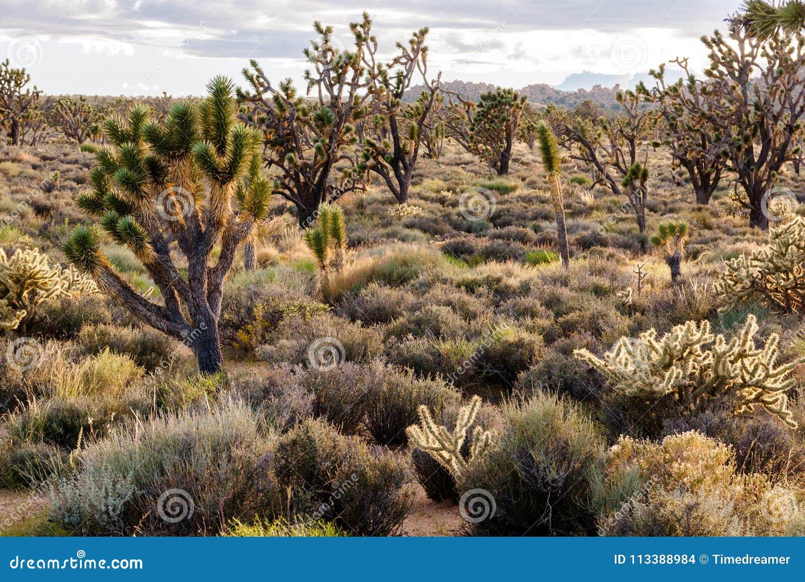 Árvores de Joshua no coração da conserva nacional do Mojave