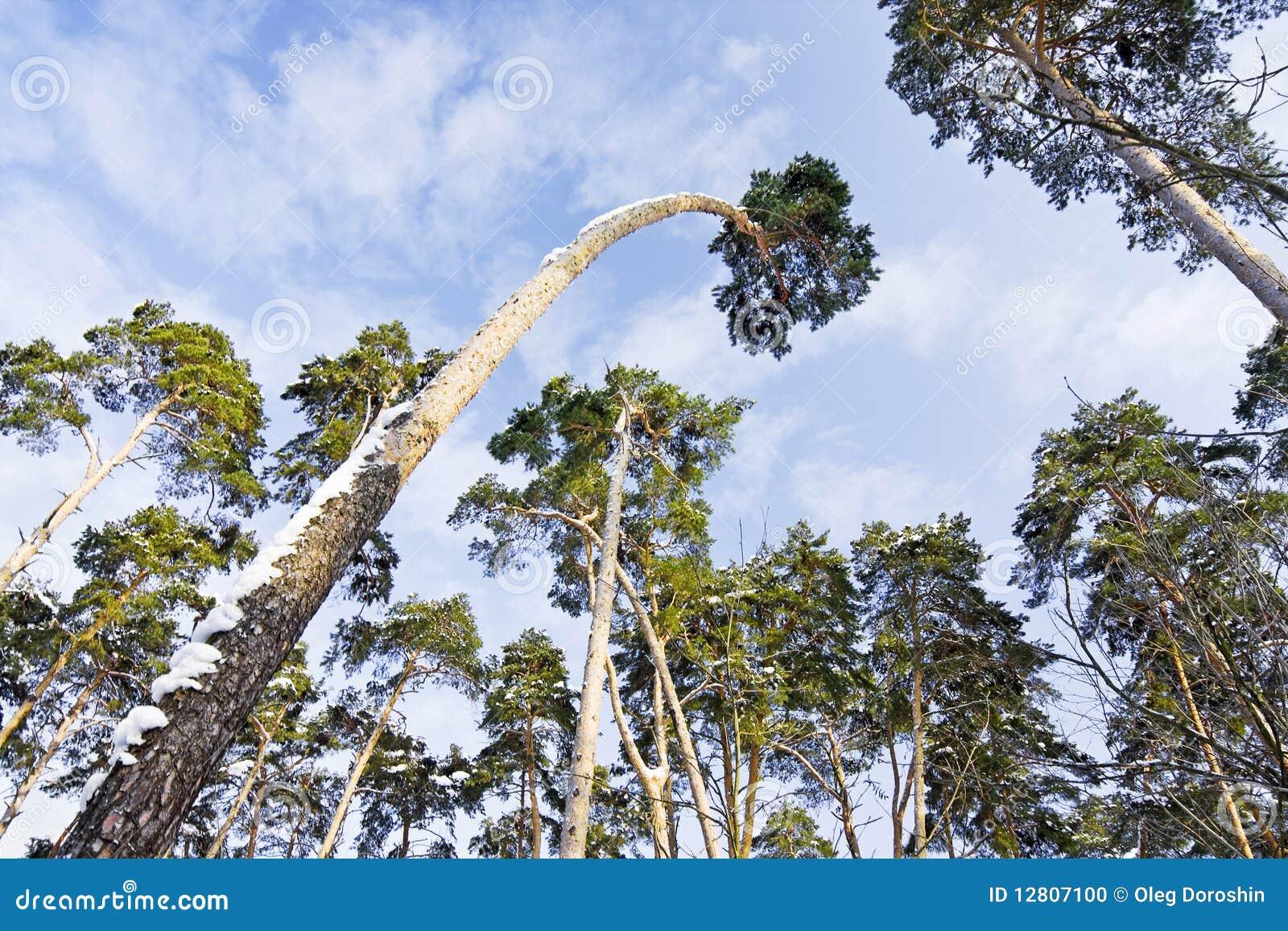 Árvores de pinho de encontro ao céu