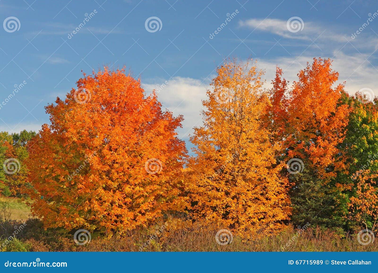 Árvores de Sugar Maple na queda