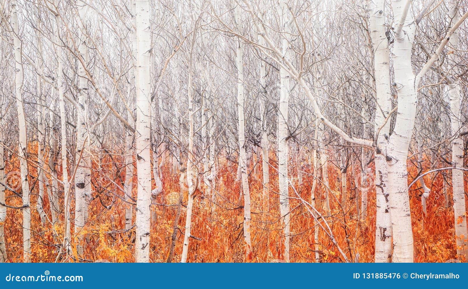 Árvores desencapadas do álamo tremedor com a folha caída do outono que mostra que o inverno está vindo