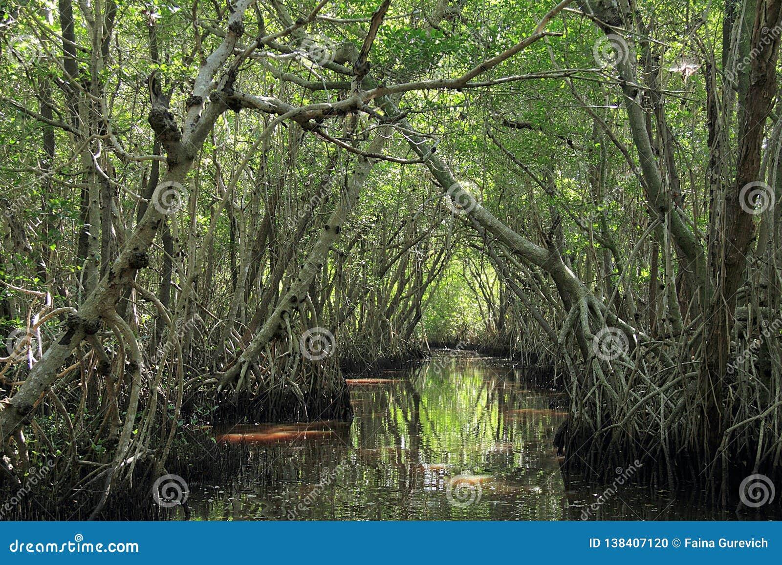 Árvores dos manguezais no parque nacional dos marismas
