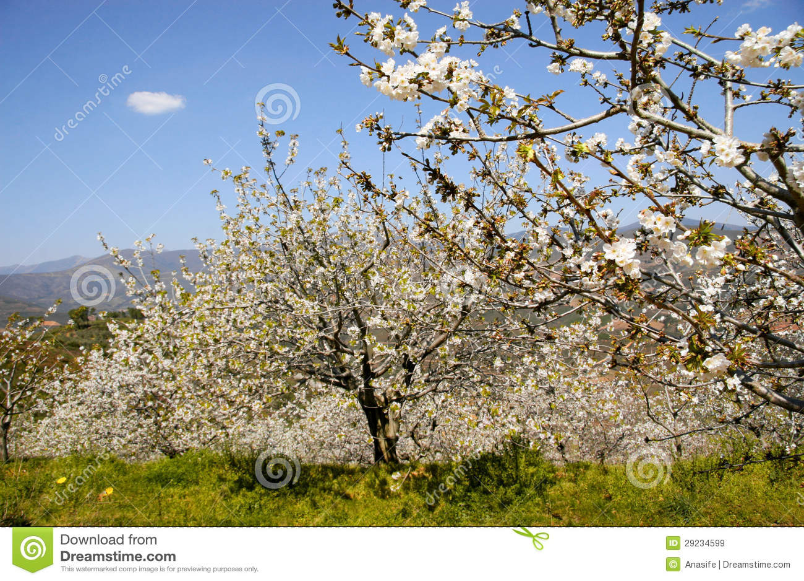 Download Árvores E Nuvem Da Flor De Cerejeira Imagem de Stock - Imagem de cultivar, florescer: 29234599