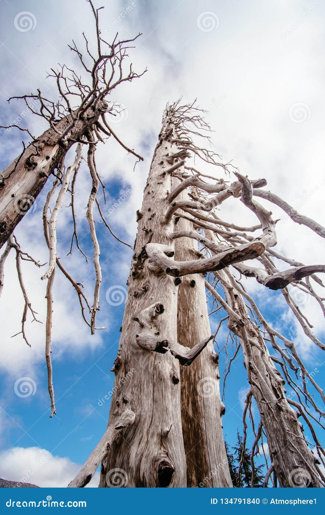 Árvores inoperantes queimadas das coníferas com ramos ocos na floresta velha bonita após o incêndio violento devastador