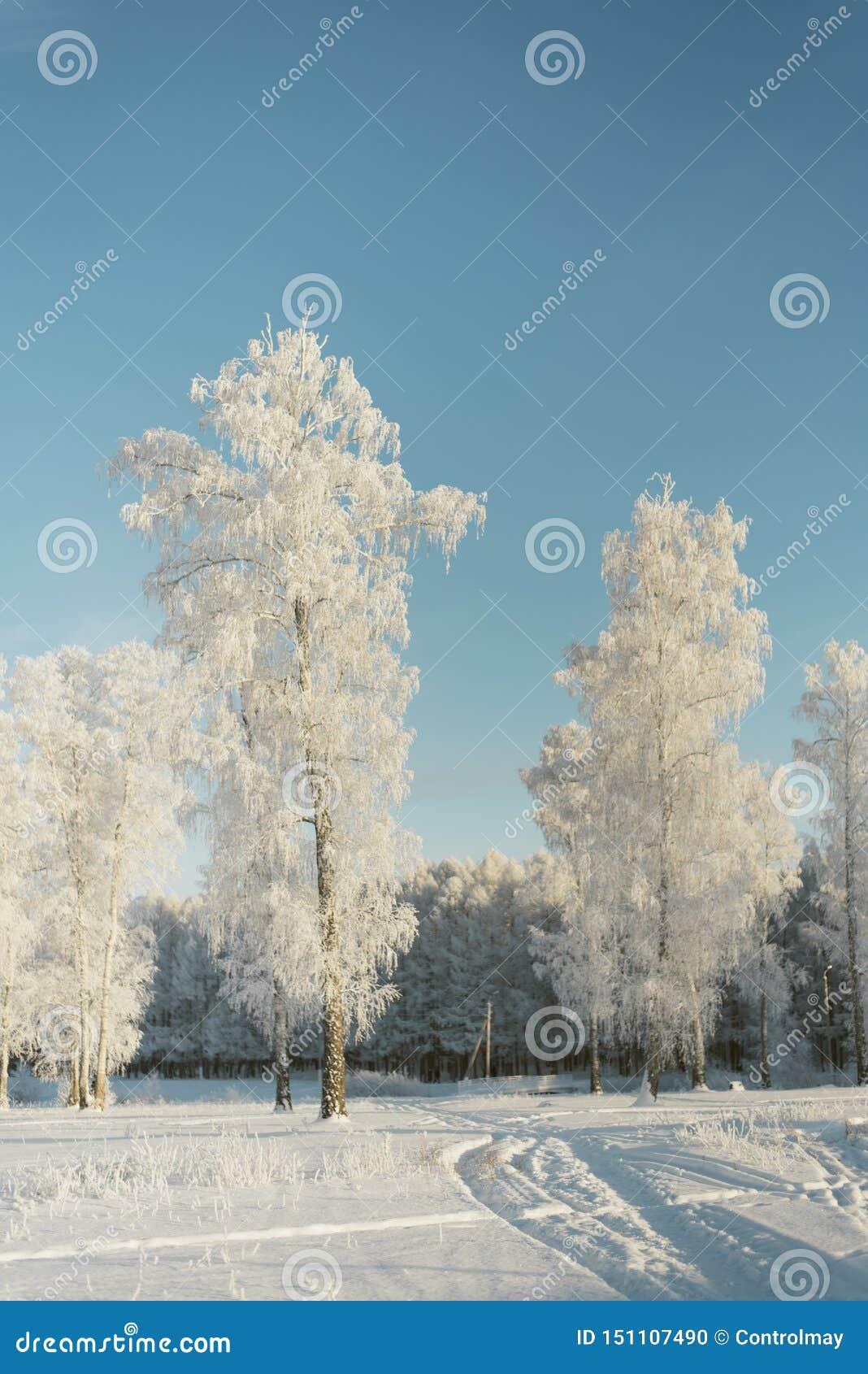 Árvores na geada em um campo nos abeto e nos pinhos da floresta cobertos com a neve