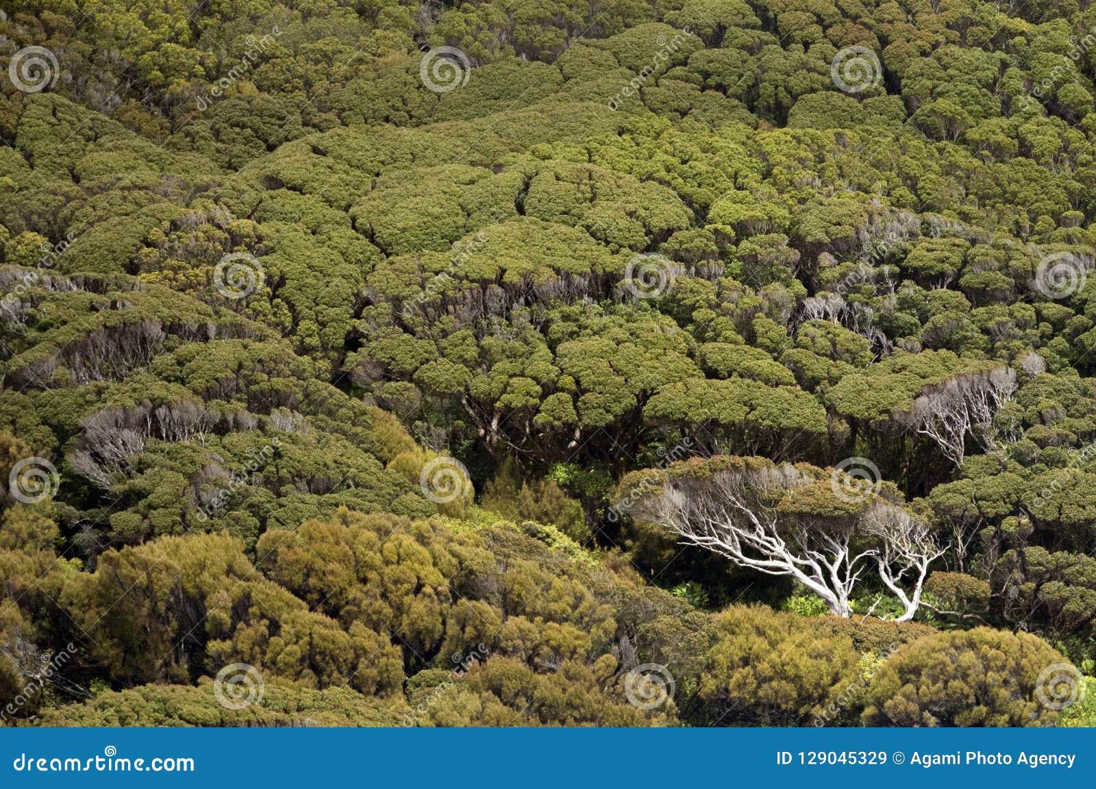 Árvores naturais nas ilhas de Auckland, Nova Zelândia