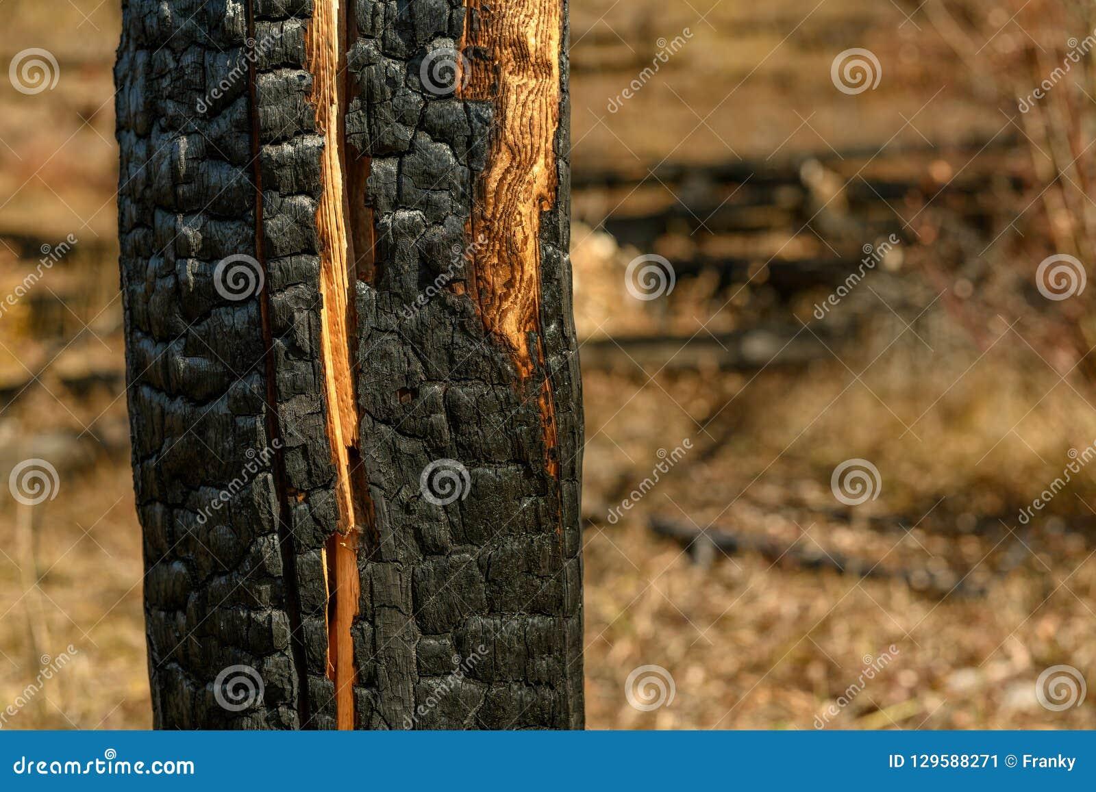 Árvores queimadas na montanha após o incêndio violento