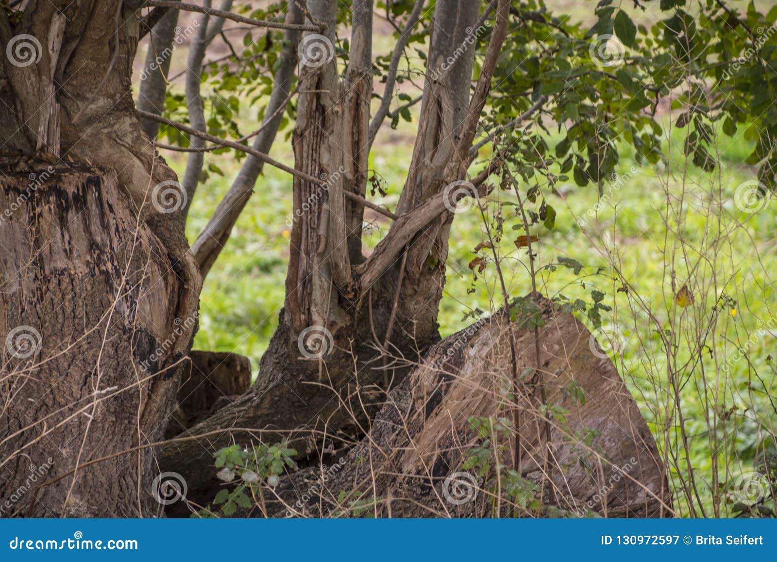 Árvores velhas com raizes expostas - raizes poderosas