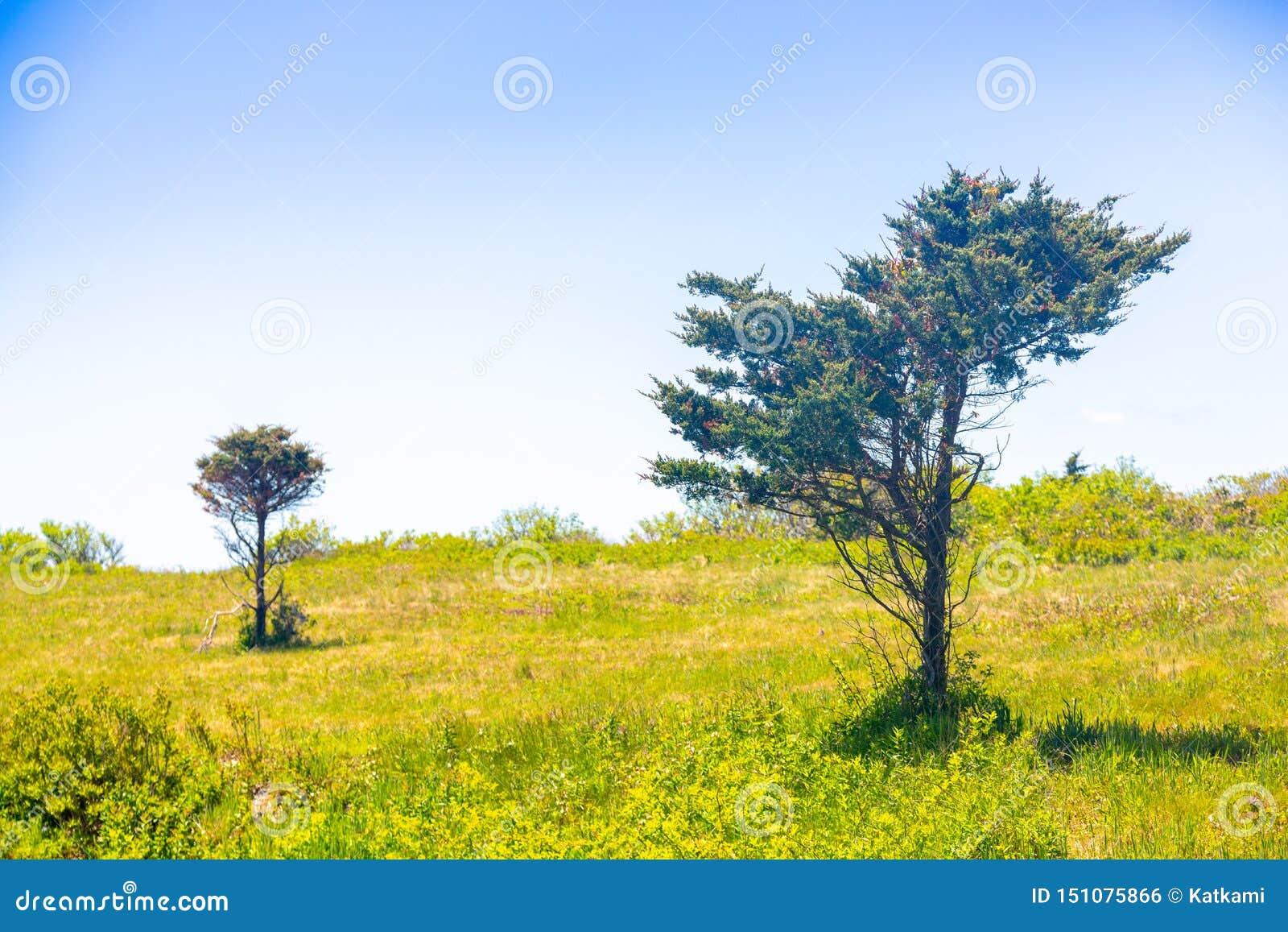 árvores Vento-fundidas pelo oceano em um campo da grama