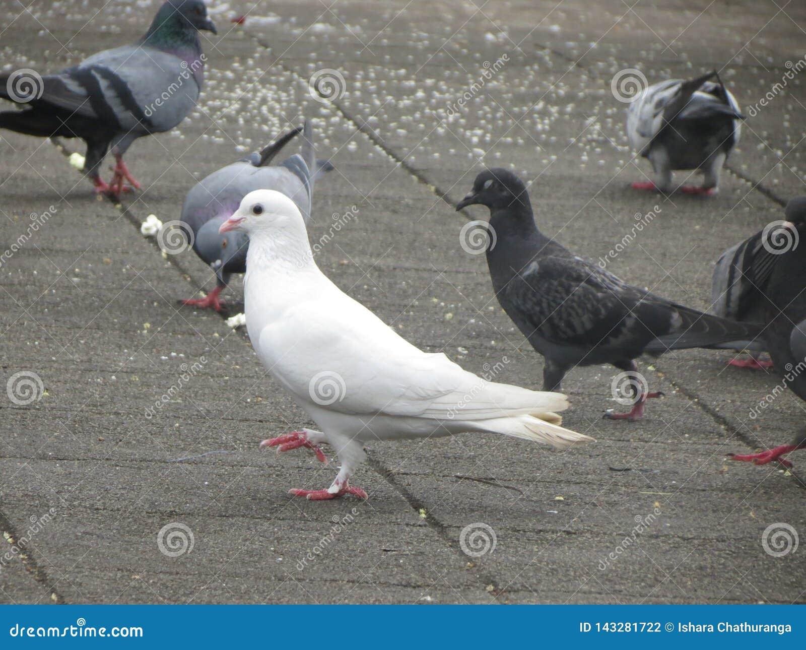 Pigeon In Gatambe Temple Kandy Srilanka Stock Photo Image