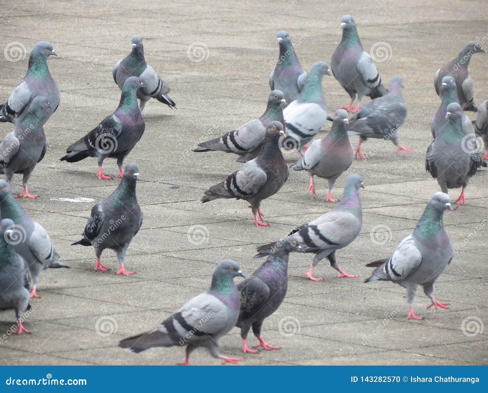 Pigeon Gatambe Temple Kandy Srilanka Stock Photo Image Of