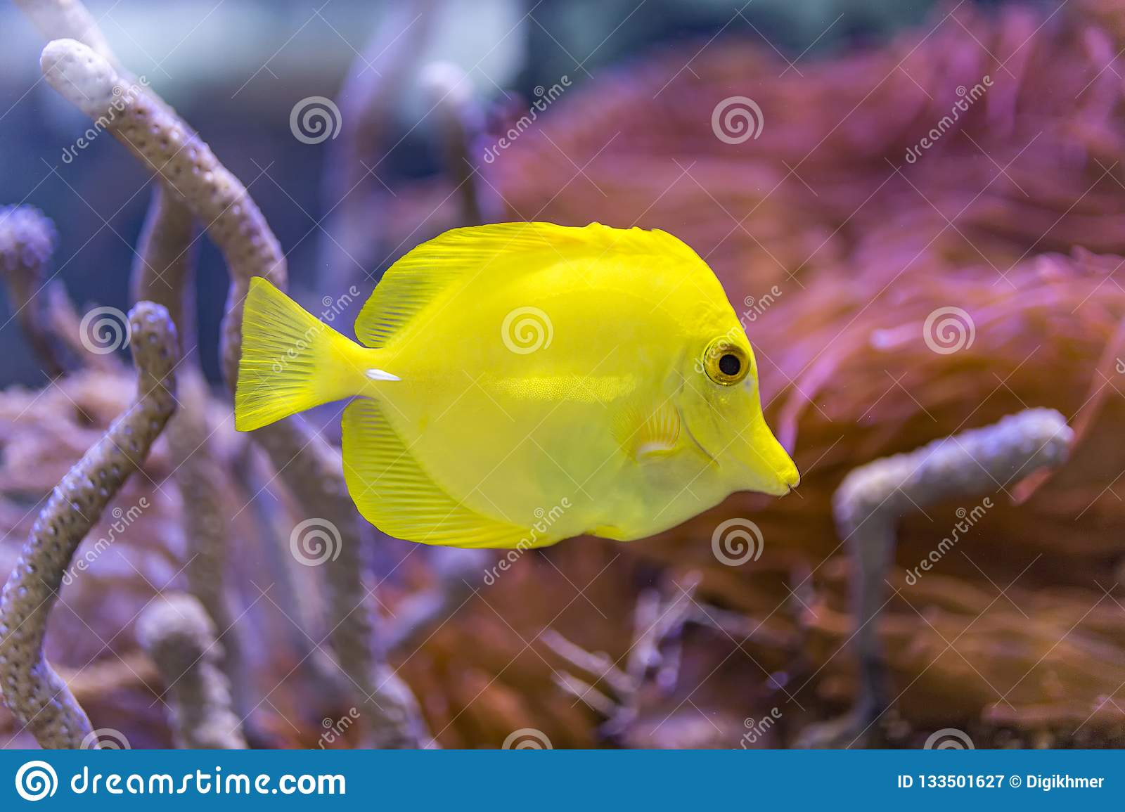 'Bubbles' the yellow tang