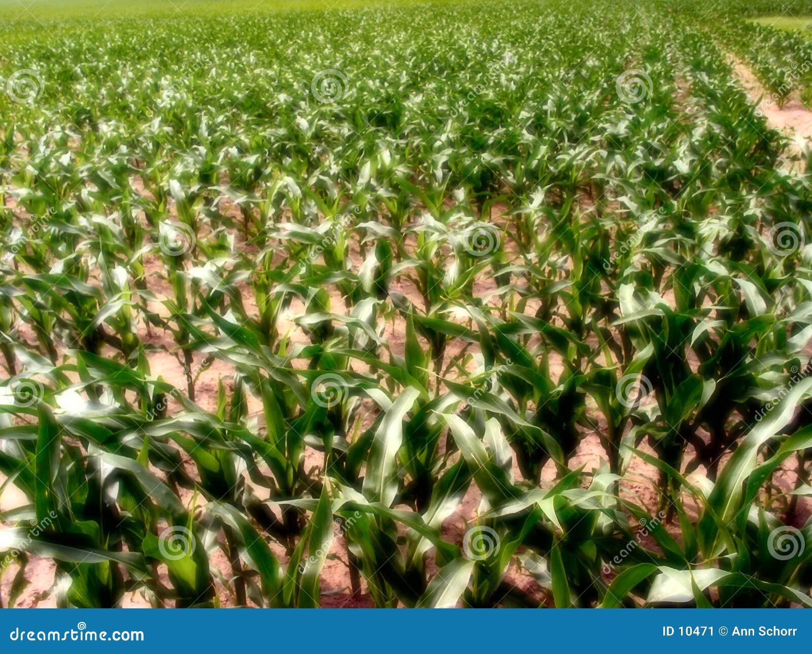 1 de maïs de l Illinois
