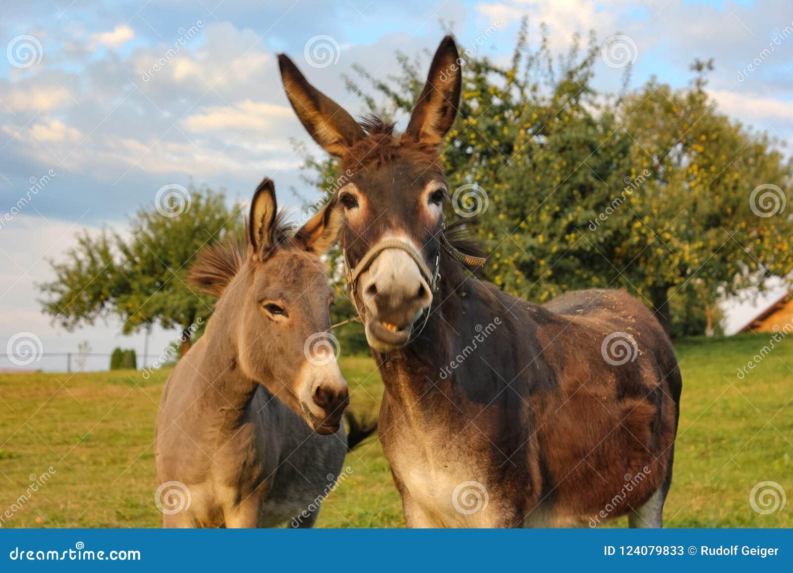 âne brun au pré