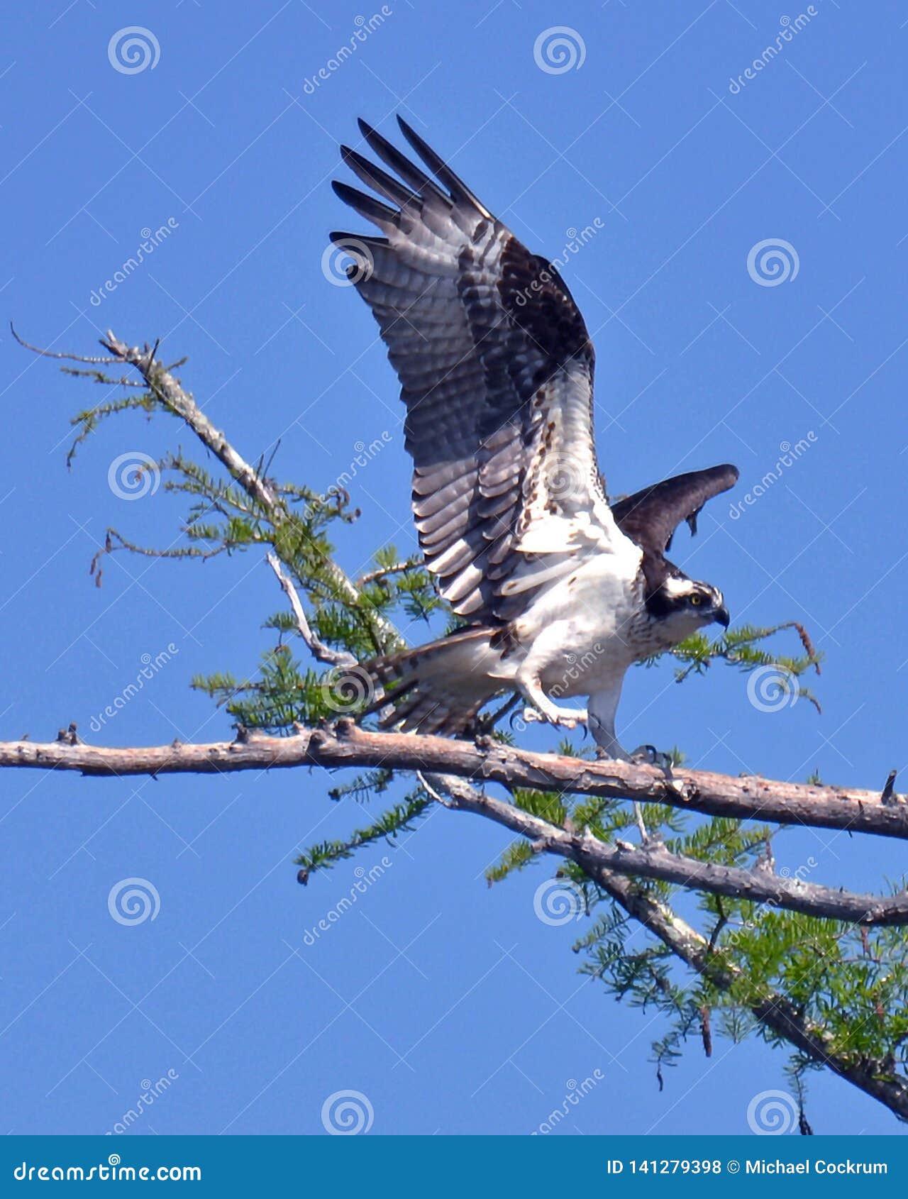 A águia pescadora sinaliza sua chegada no ninho