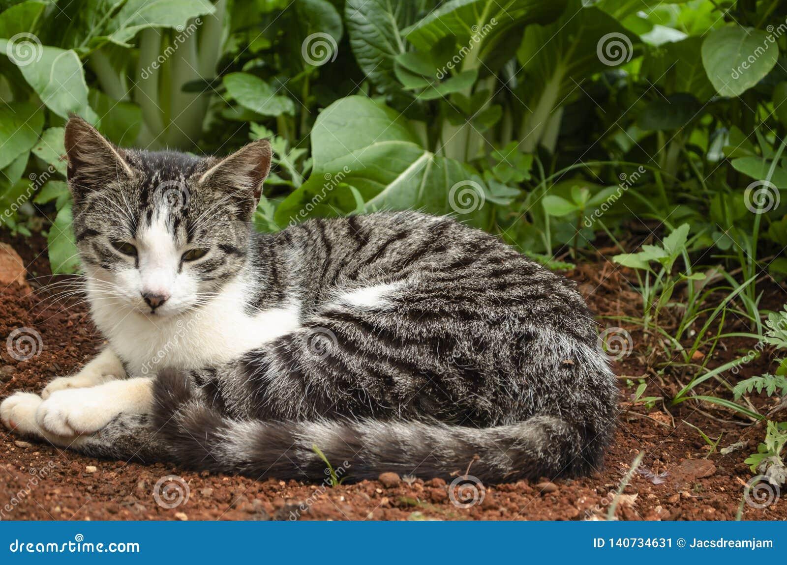 Ägäische Cat At Pak Choi