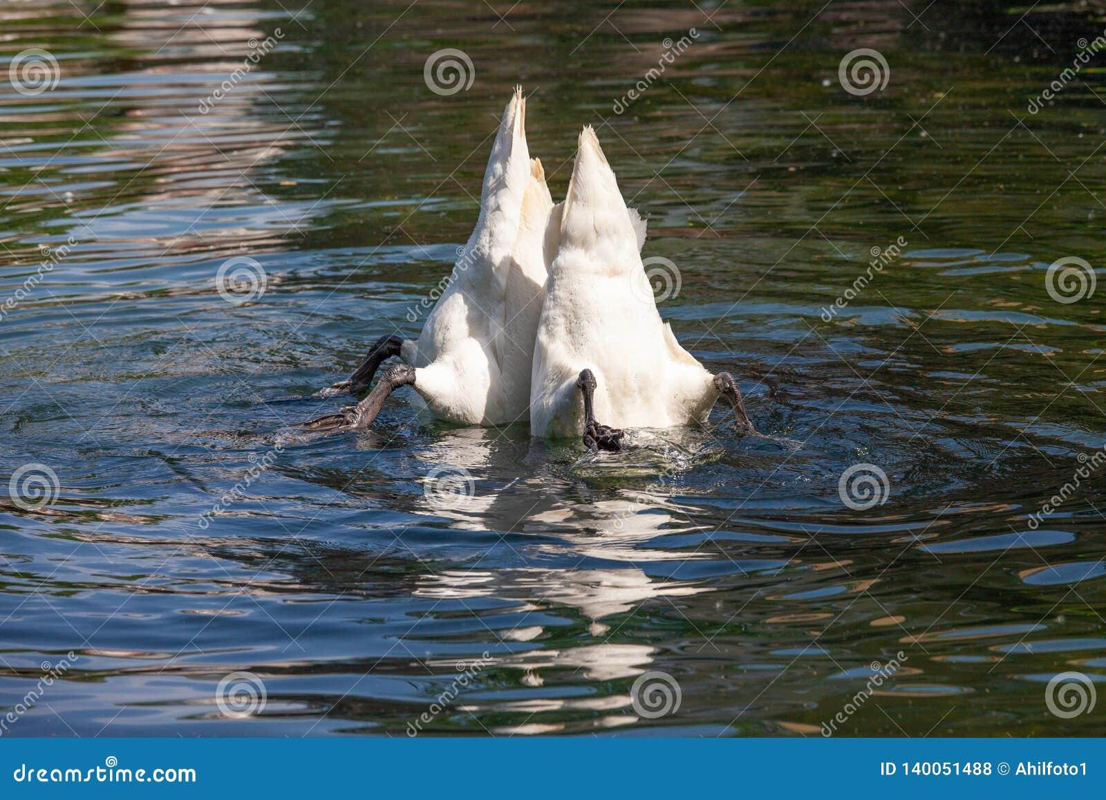 两只白色天鹅黏附他们的尾巴在水外面
