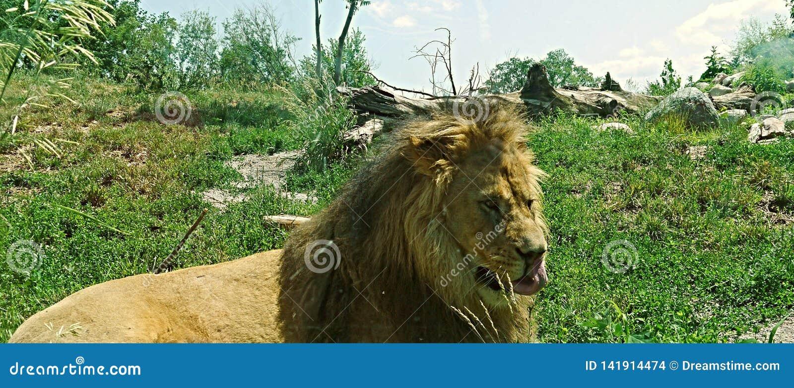 与他的舌头的狮子