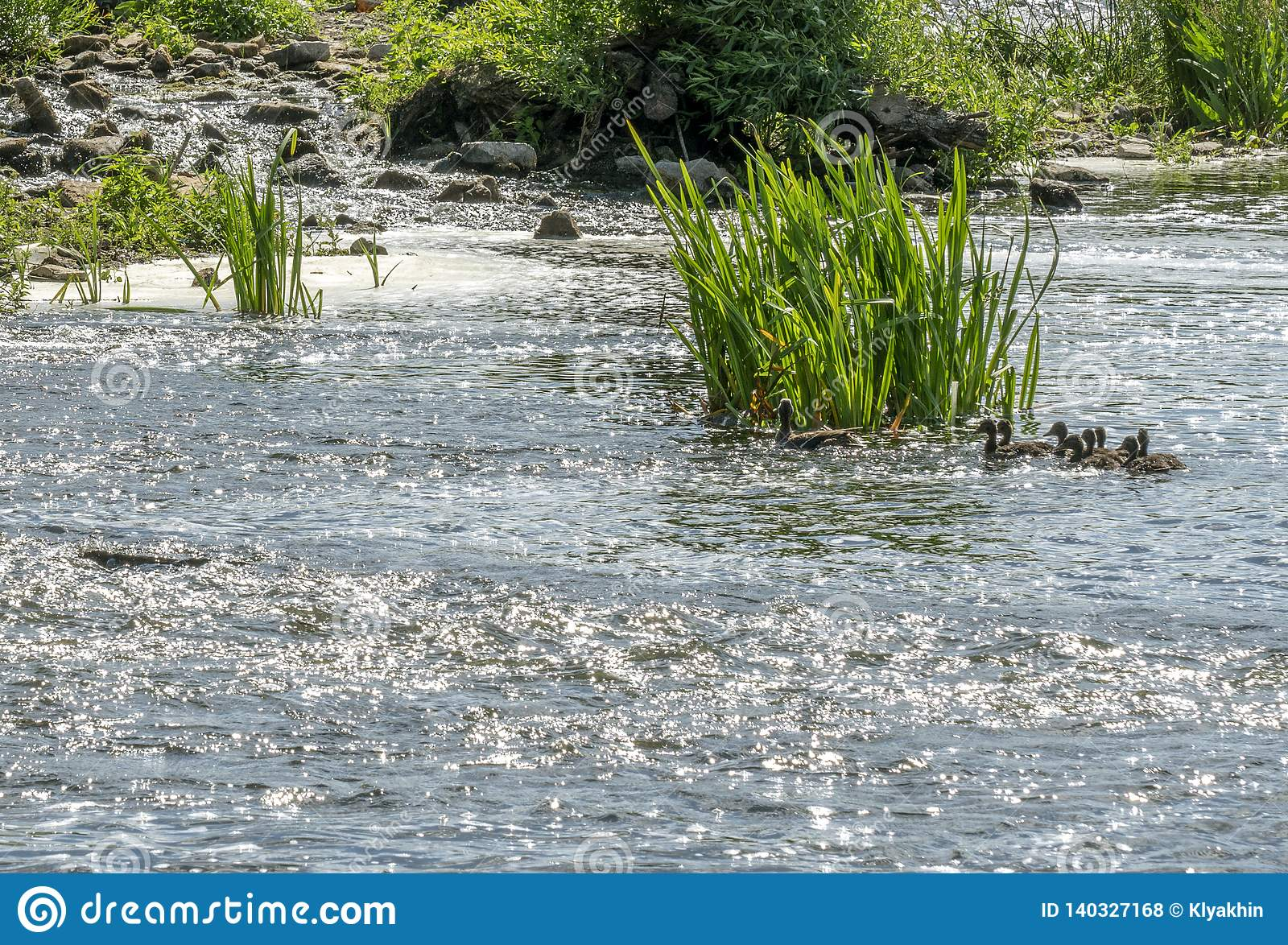 与漂浮在河的巢的鸭子