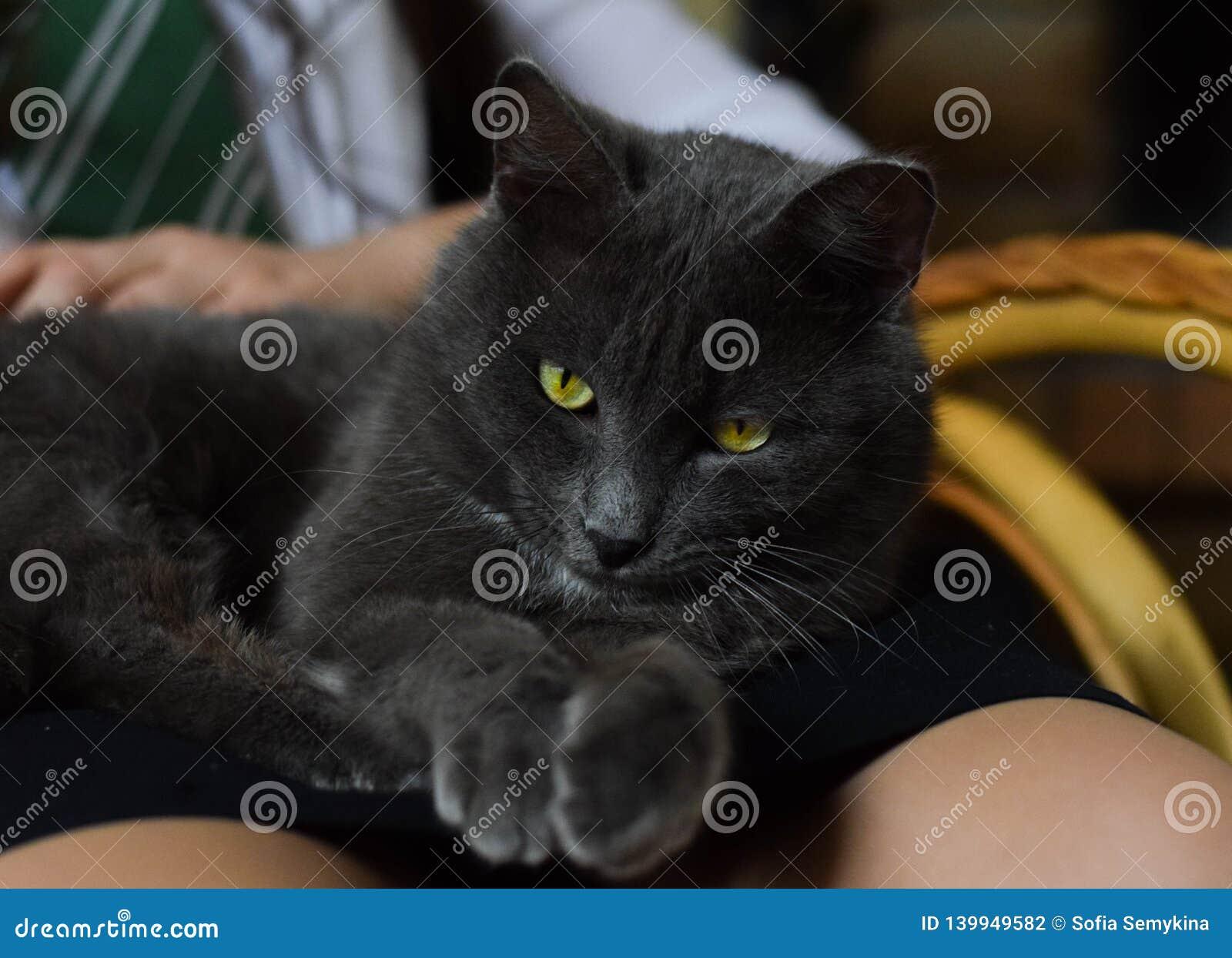 与明亮的眼睛的灰色猫