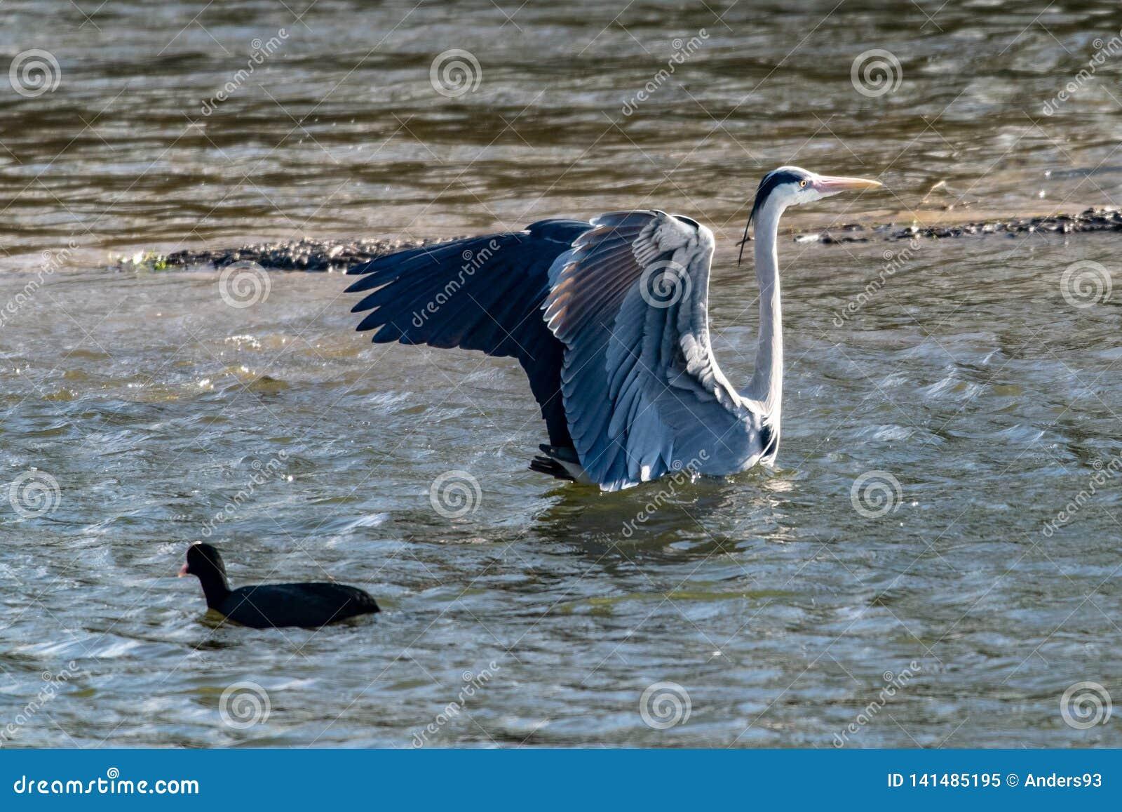 与被伸出的翼的灰色苍鹭在登陆在湖水中以后