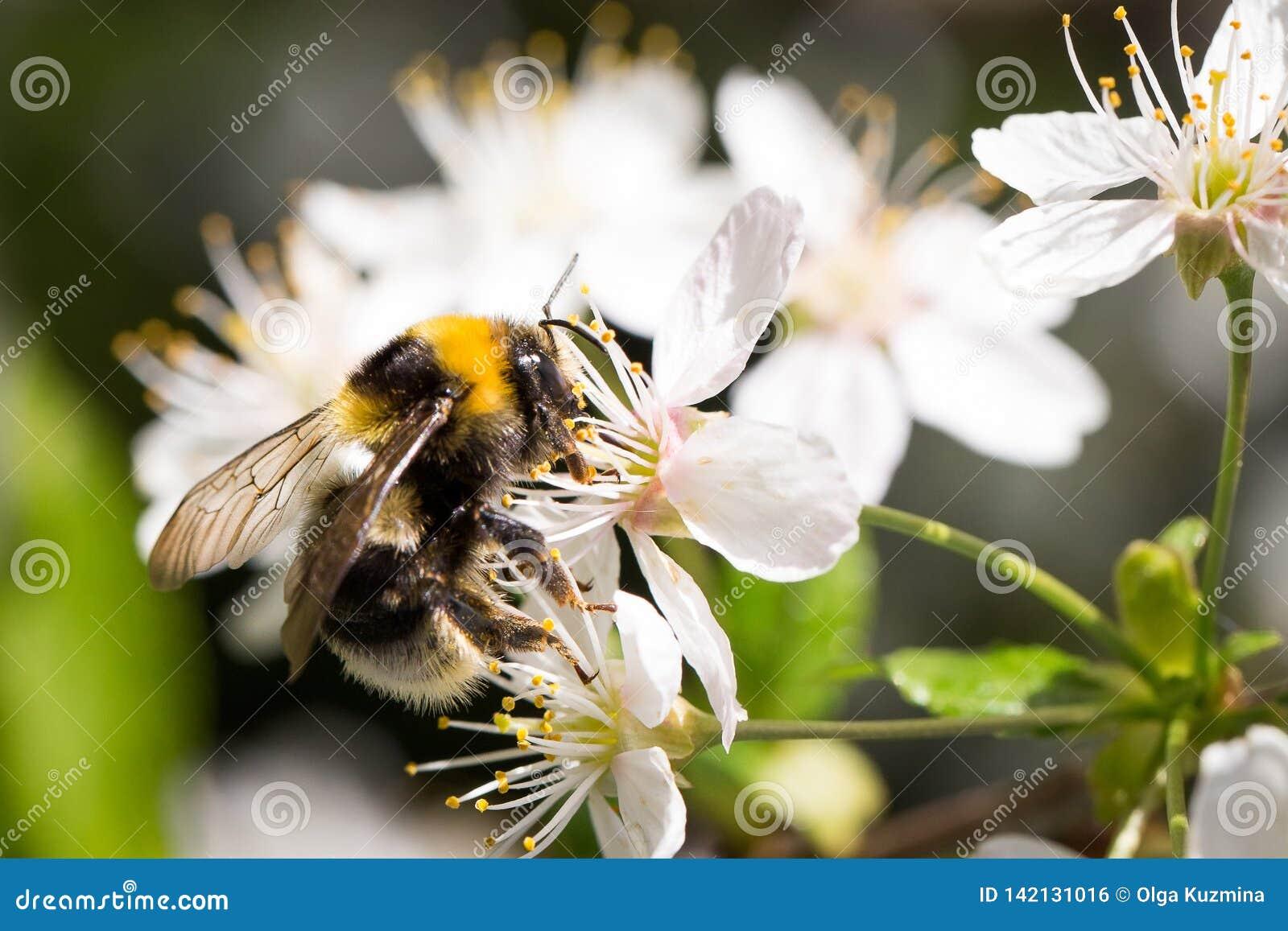 与花粉在樱桃花,明亮的晴朗的春日的蜂