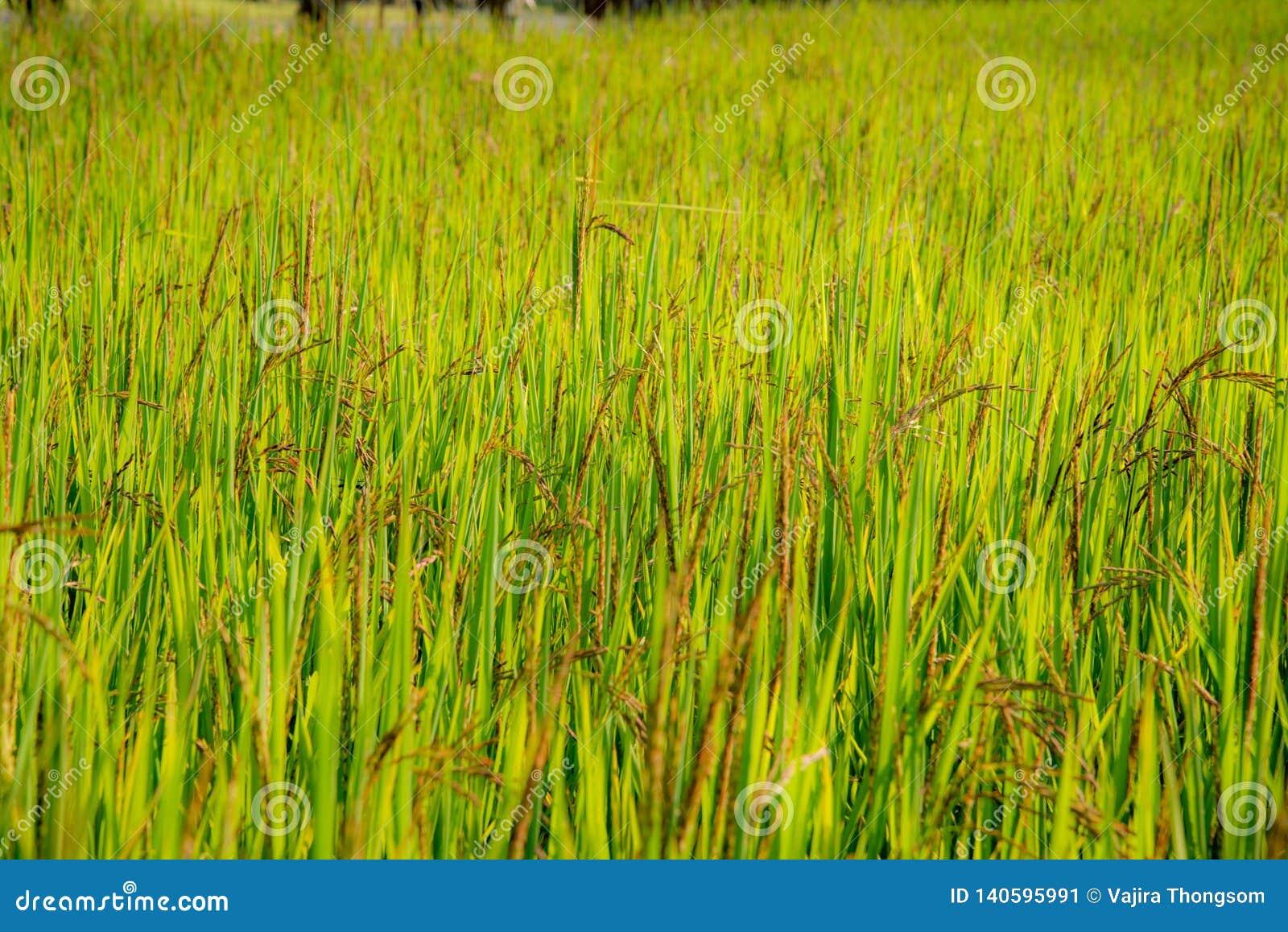 一个riceberry领域,农场,种植园