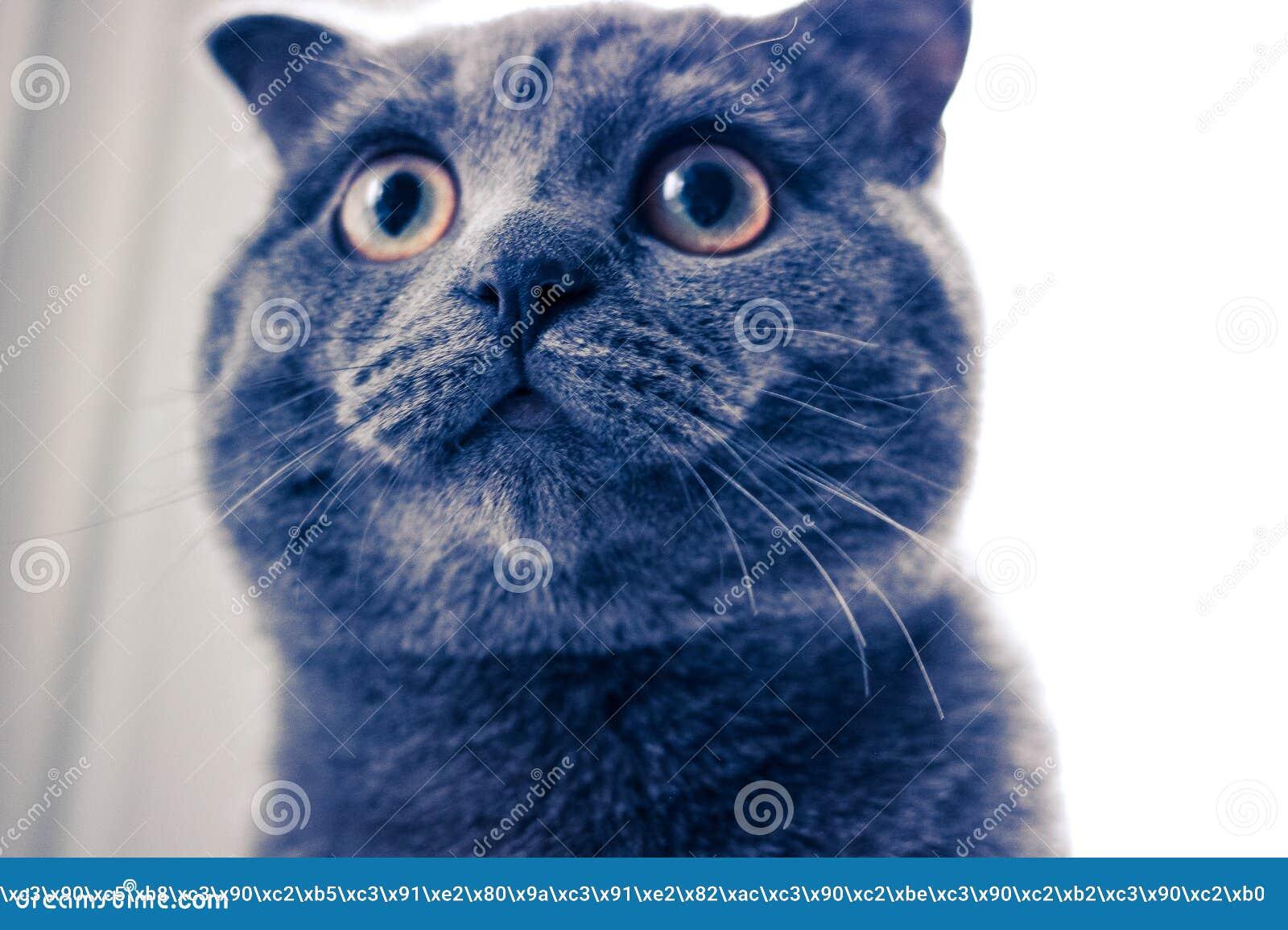 一只大猫,与黄色眼睛的猫,猫,猫的圆的眼睛特写镜头