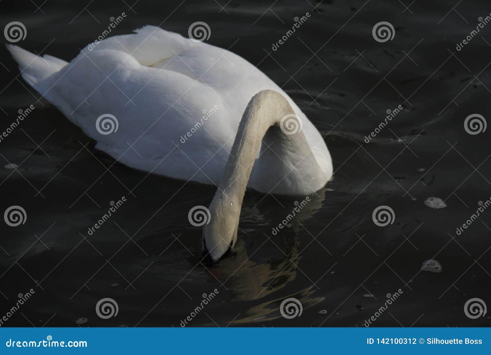 一只幼小天鹅在水镇静地游泳
