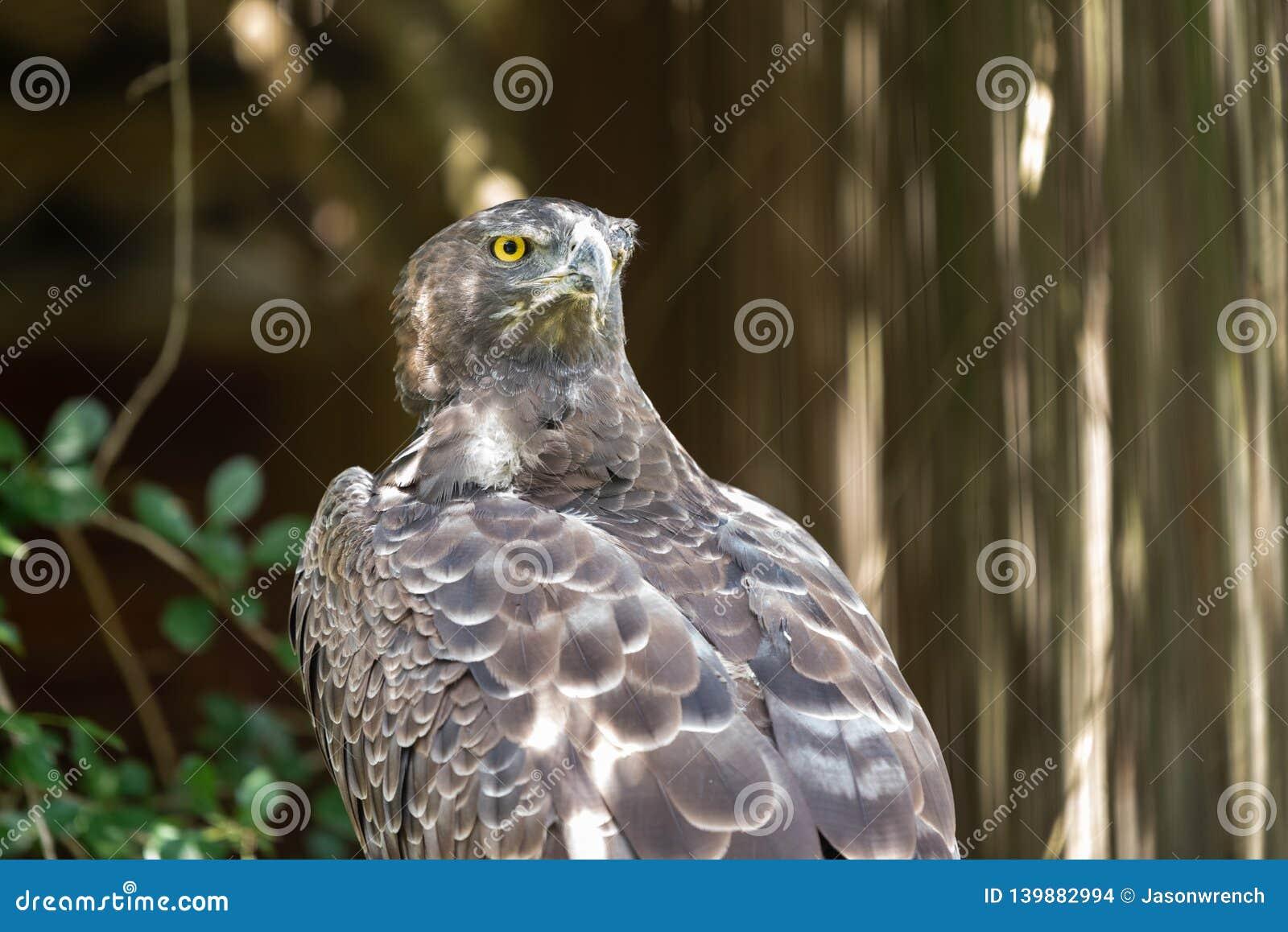 一只军事老鹰的剧烈注视