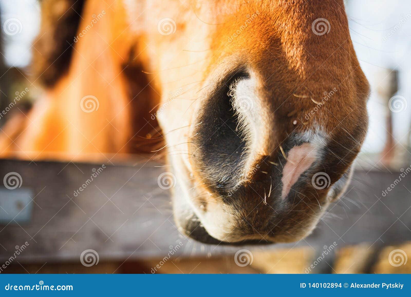 一匹红色马的鼻孔的特写镜头在农场的