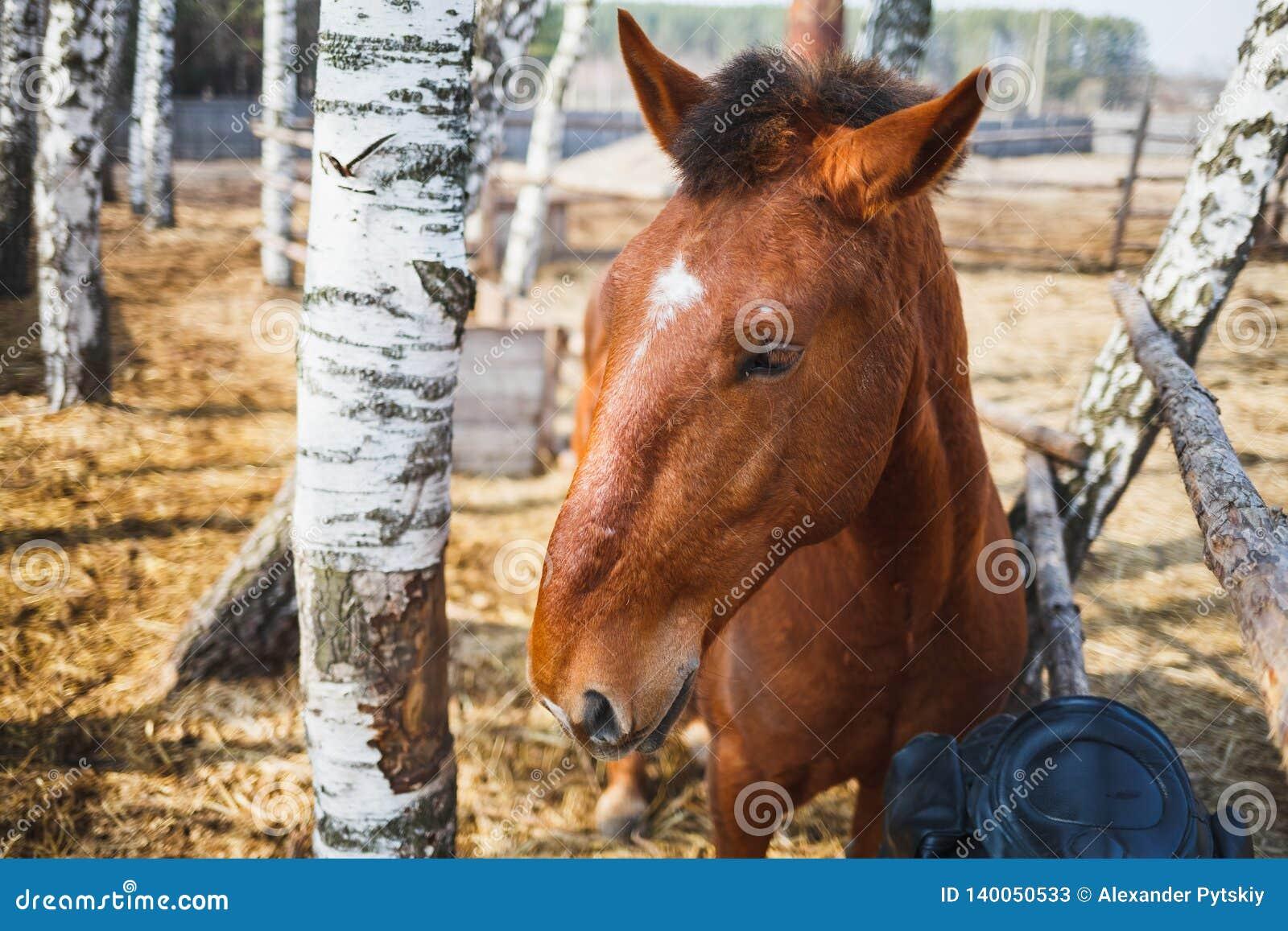 一匹curly-headed红色马的画象在一个晴朗的稳定的围场
