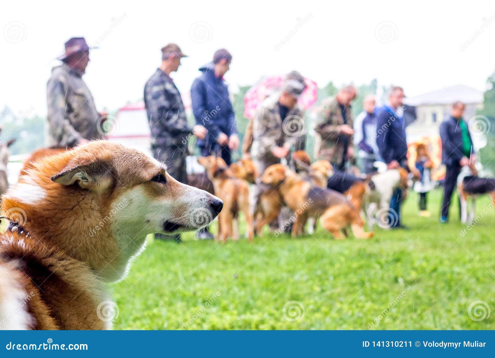 一条交配动物者狗的画象在猎犬的陈列的在多雨weather_的