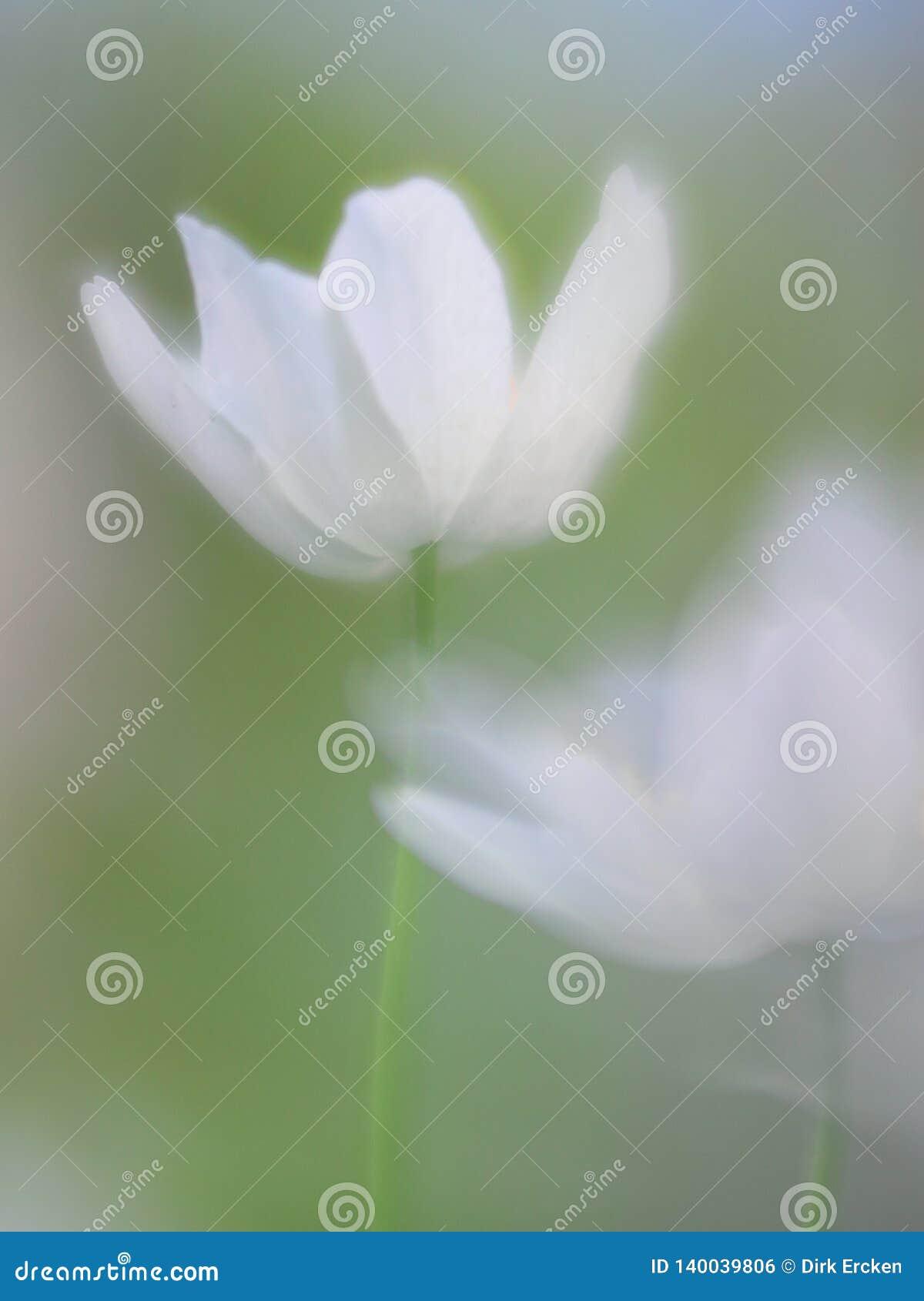 一朵五叶银莲花的精神