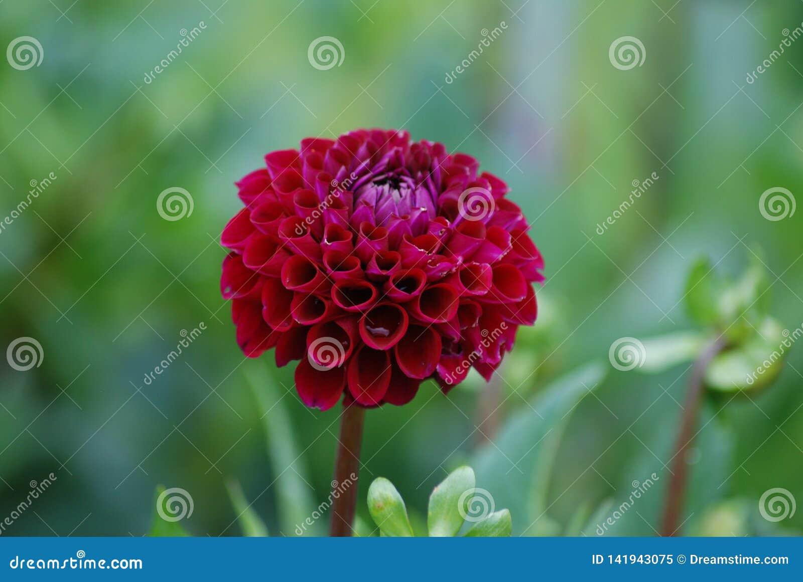 从人群-歌剧女主角引人注意-深红色的大丽花开花