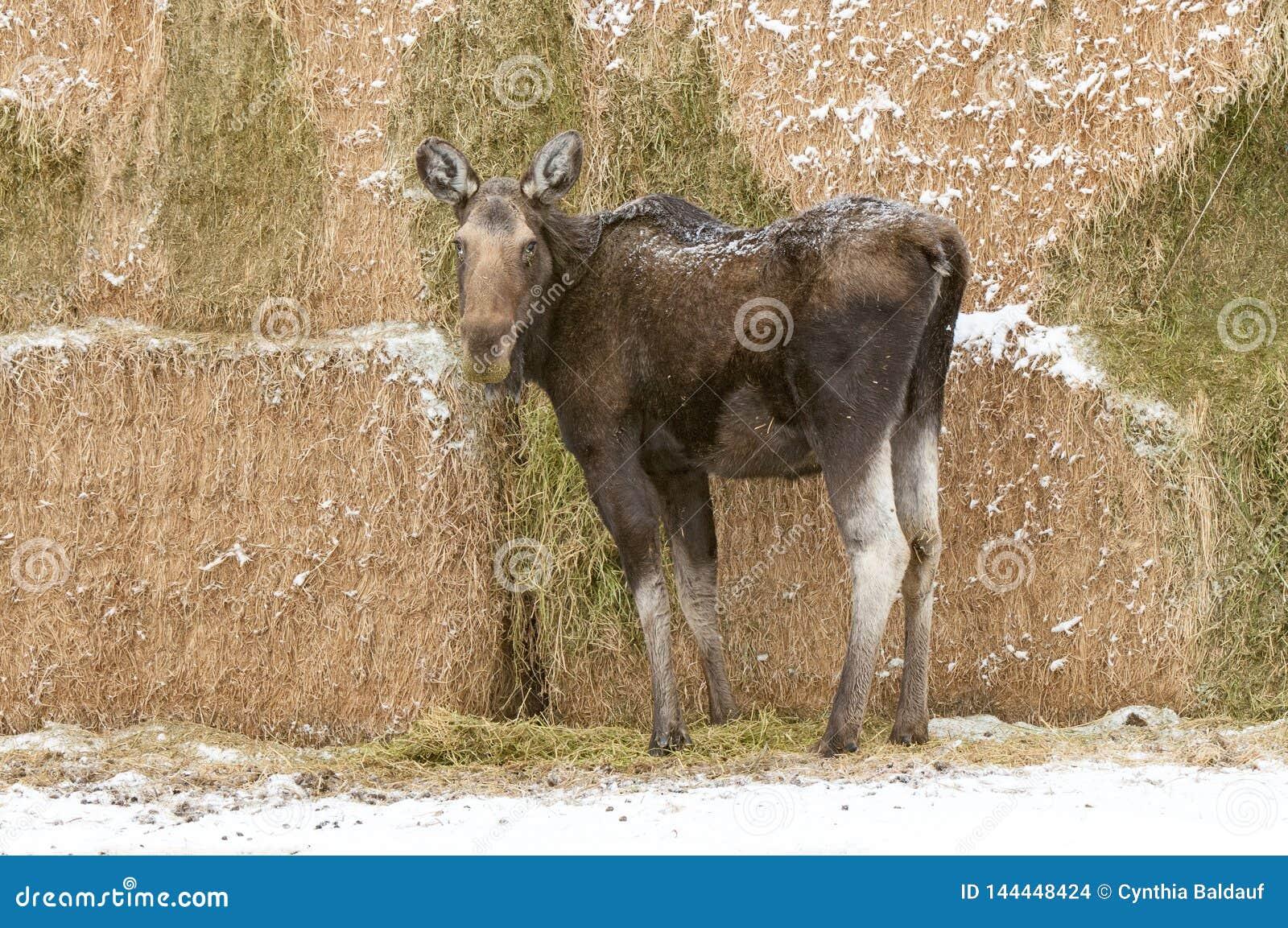 Älg som äter alfalfa i en Montana Haystack