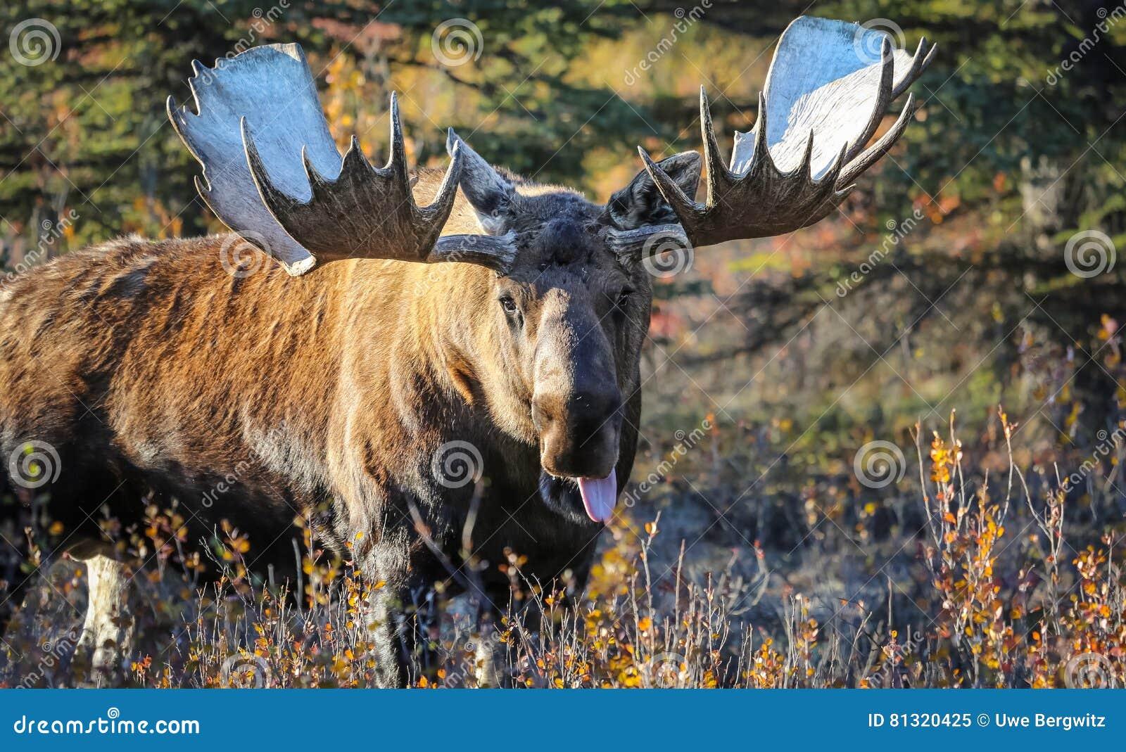 Älgtjur i Alaska