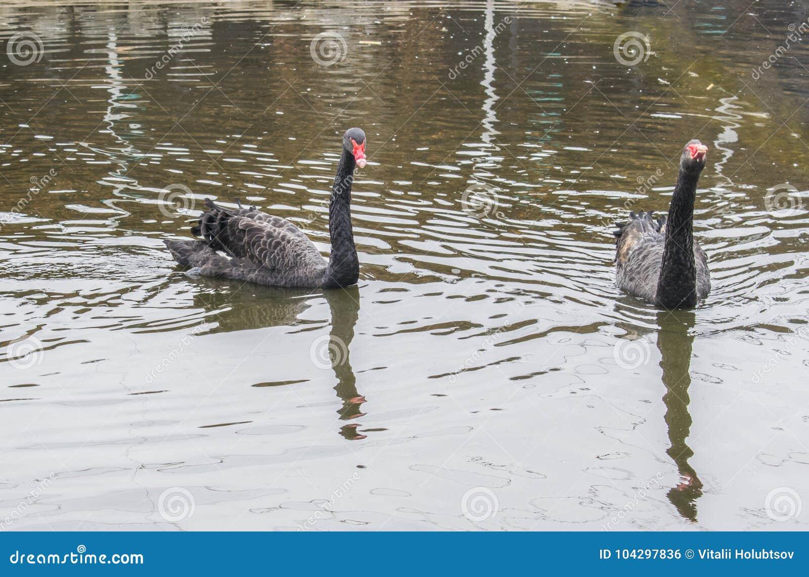 Älska ett par av svarta svanar Bad för två svarta svanar i sjön