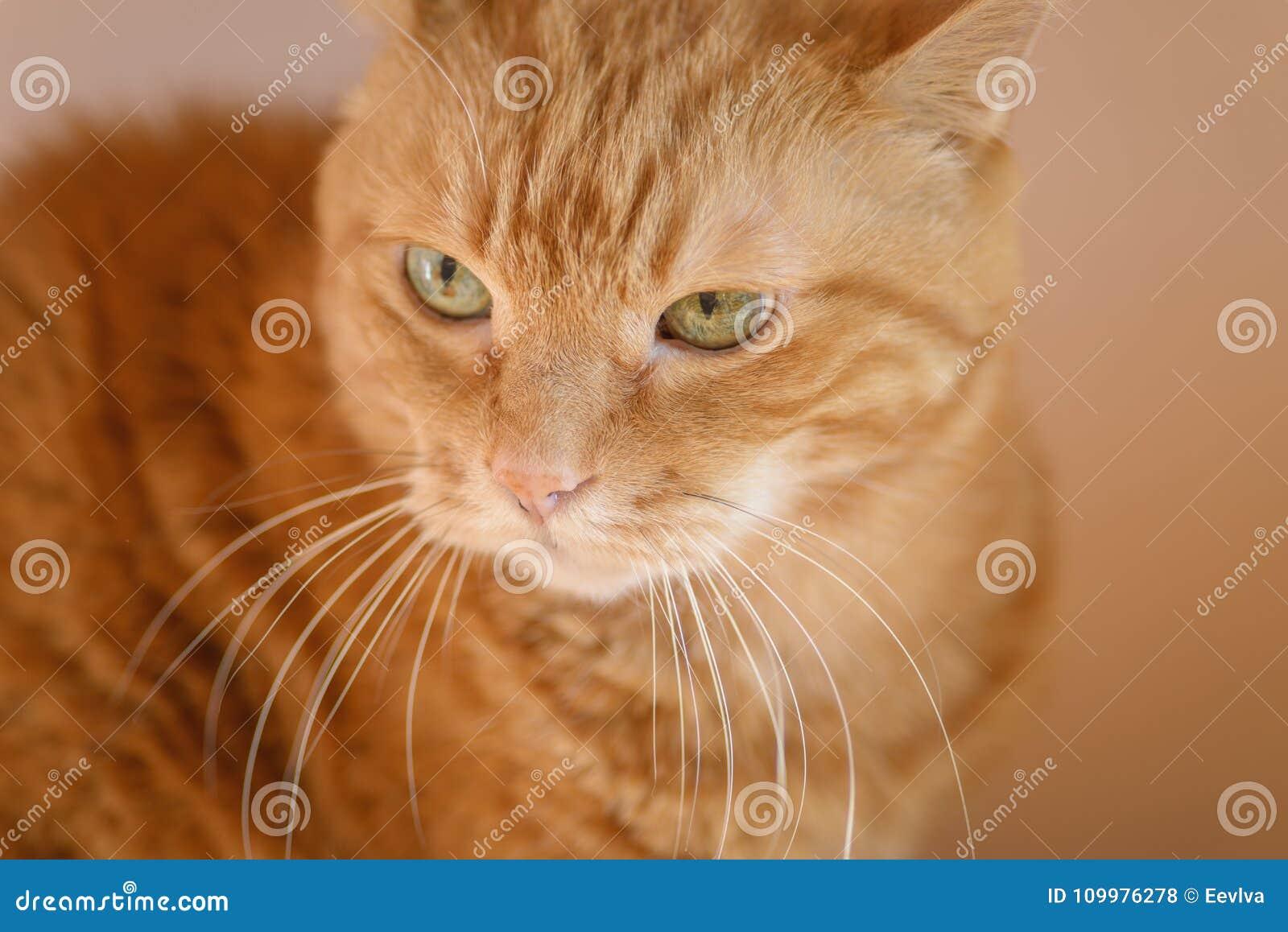 Älskvärd röd katt