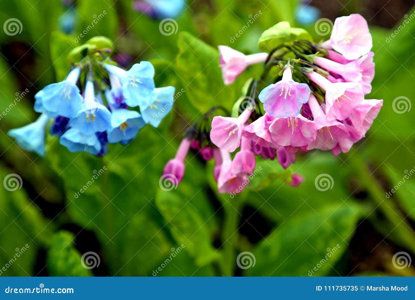 Älskvärda rosa färg- och blåttVirginia blåklockor som blommar i vårsolen
