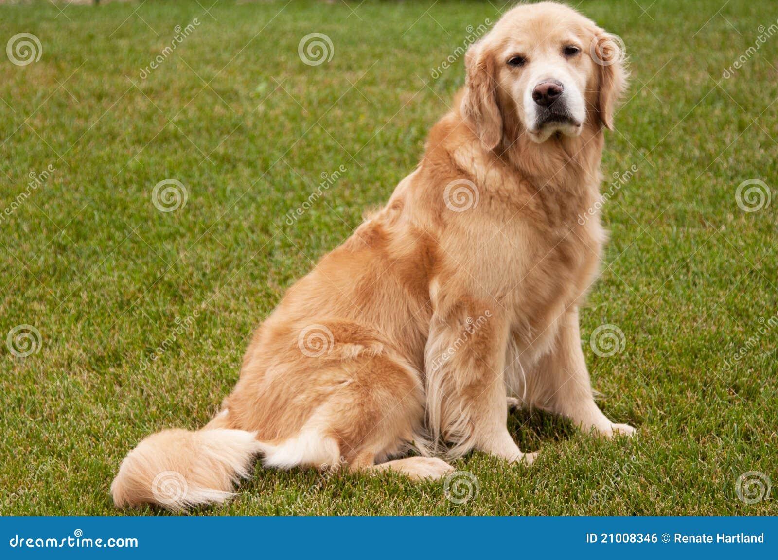 Älterer goldener Apportierhund-Hund