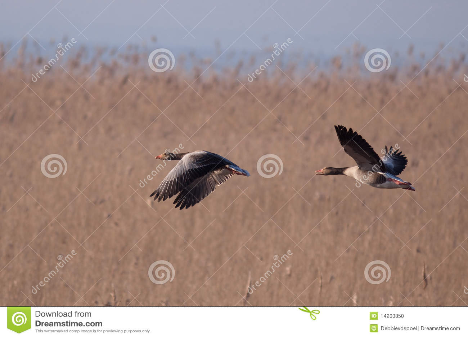 änder som flyger två