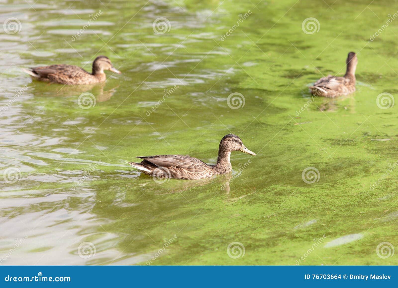 Änder som simmar i grönt vatten