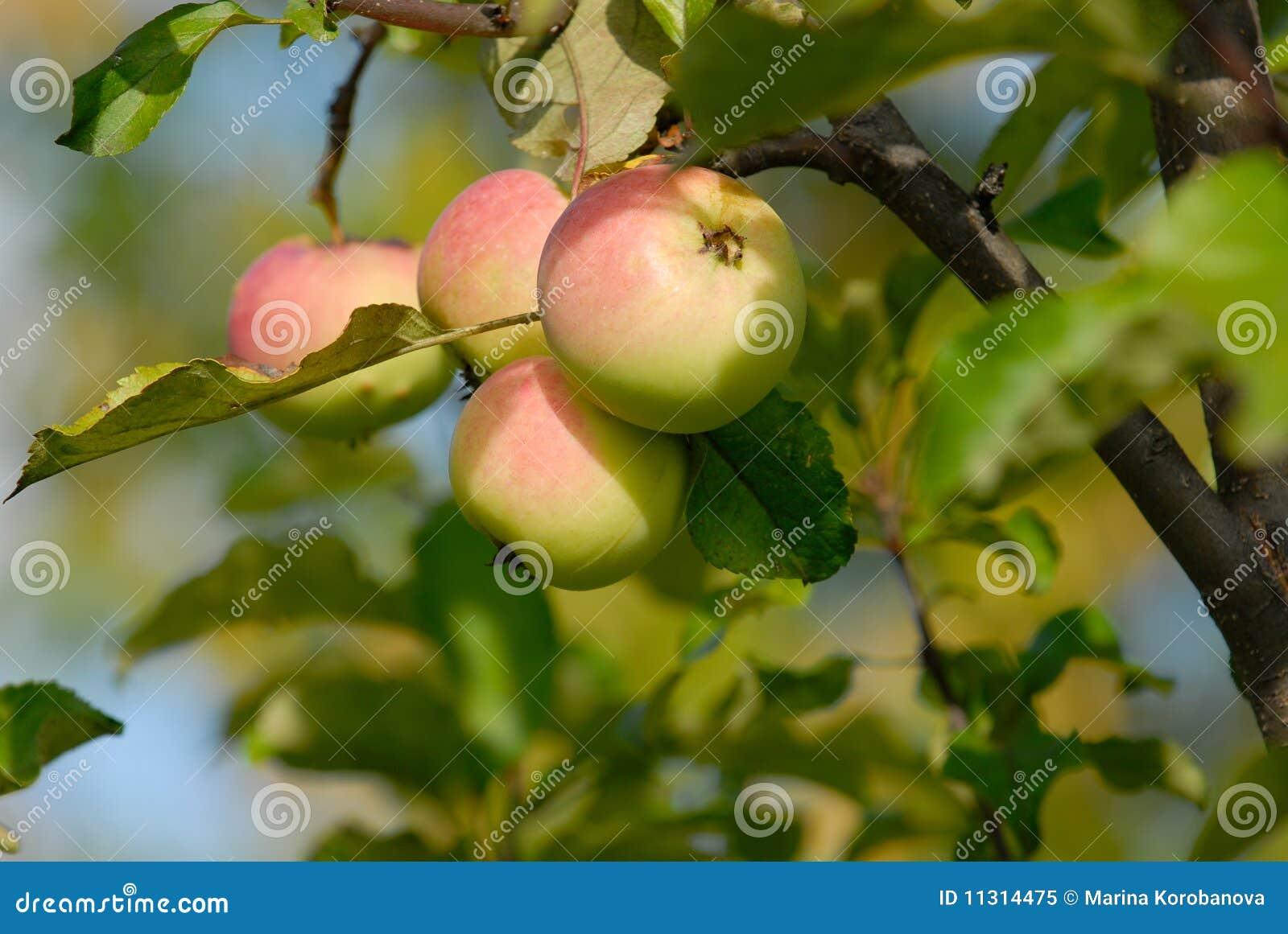 Äpfel auf Zweig