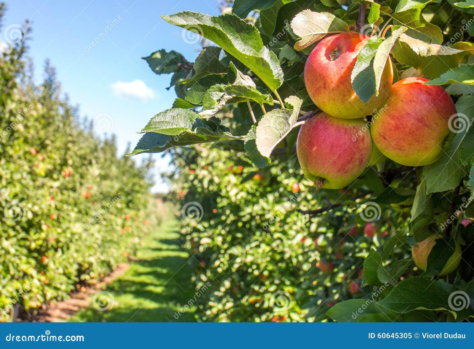 äppleäpplefilialen bär fruktt leavesfruktträdgården