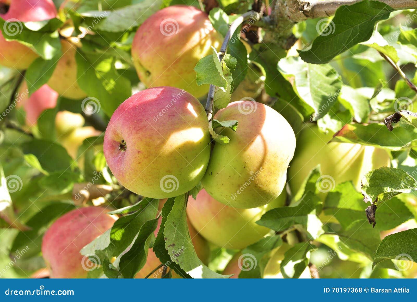 Äpplen på äppleträdfilial